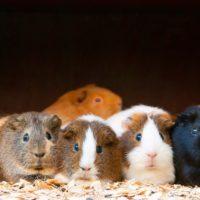 Guinea Pigs Diet